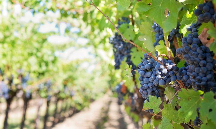 purple_grapes_vineyard